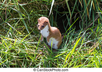 Weasel (Mustela nivalis) hunting for food