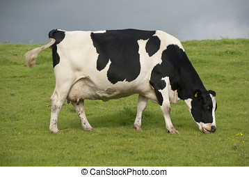 Holstein cow dairy farm UK - Holstein black and white cows...