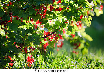 Redcurrant in summer garden