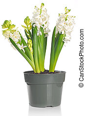 Beautiful white hyacinth flower in a pot, isolated on white...
