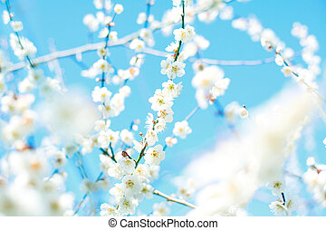 ume blossom - white ume blossom