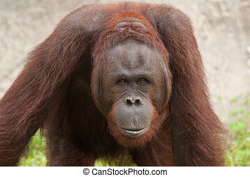 Orangutan Pongo pygmaeus, Orangutans are currently found...