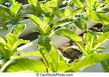 Hydro-phonic Plantation, Organic vegetables.
