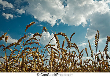 Golden wheat and idylic blue sky