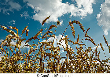 Golden wheat with idylic blue sky