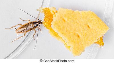 Blattella germanica german cockroach eating pineapple filled...
