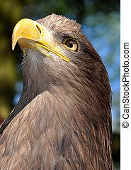 sea eagle close up