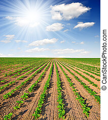 freshly sown sunflower field - Summer sun over the freshly...