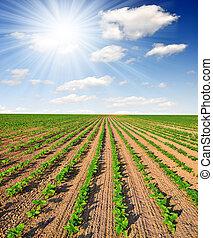 freshly sown sunflower field - Summer sun over the freshly...