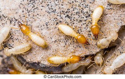Termites in Thailand - Close up termites or white ants in...