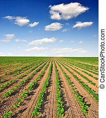 freshly sown sunflower field - Blue sky over the freshly...
