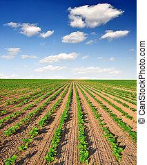 freshly sown sunflower field - Blue sky over the freshly...