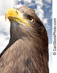 sea eagle on blue sky
