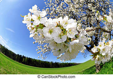 Spring blossoms,cherry tree flower