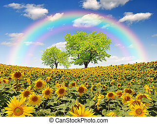 sunflower field - rainbow above the sunflower field with...