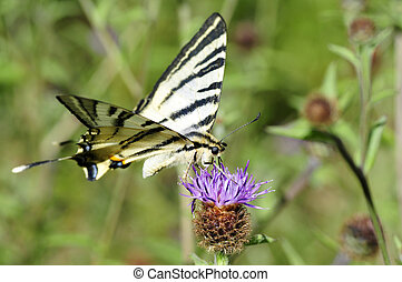 Scarce Swallowtail butterfly (Iphiclides podalirius) feeding...