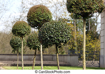 Buxus balls in garden. - Details of buxus balls in an...
