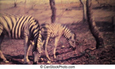 Zebras Roam Through Game Park-1979 - Zebras roam wild in a...