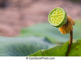 Lotus seed pod - Young Lotus seed pod with green color leaf