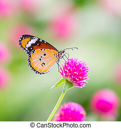 Plain tiger butterfly on globe amaranth or bachelor button...