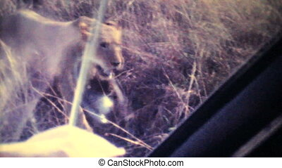 Lion Roaming Through Game Park-1979 - Lions roam wild...