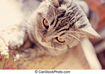 British breed of cat - close-up portrait of the big gray cat...