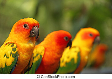 Lovebird - Group of lovebird