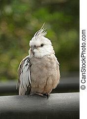 Close up of Cockatiel bird - Close up of Cockatiel bird,...