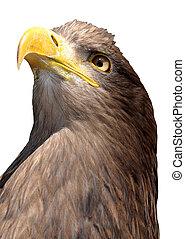 sea eagle isolated on white background