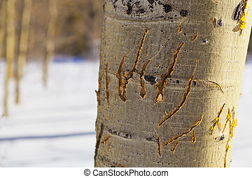Bear Claw Marks - Bear Claw marks on an aspen tree in winter