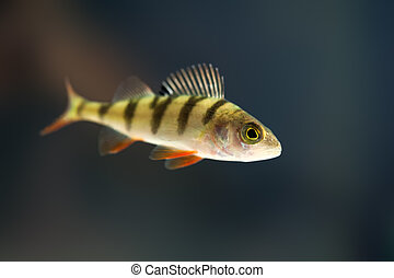 fish - perch in water close up