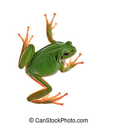 tree_frog - tree frog isolated on white