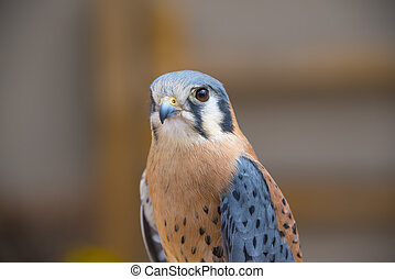American Kestrel Also Known As A Sparrow Hawk
