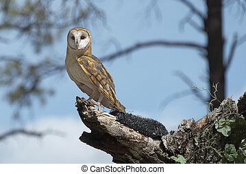 Barn Owl Perched On A Tree Stump With Copy Space To The...