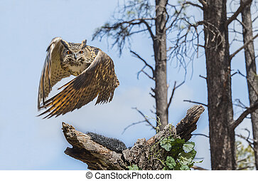 Eurasion, águia, coruja, em, Vôo