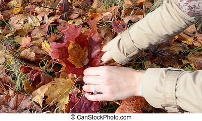 hand pick maple leaf - woman hand pick up colorful red maple...