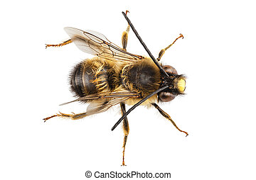 Bee species Eucera longicornis common name Solitary miner...