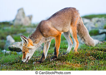 Red fox, sunrise, Babia Gora, Poland