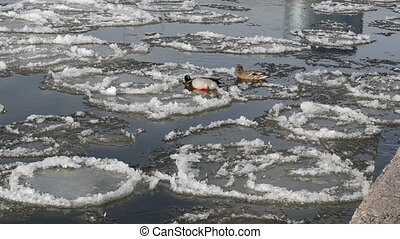 duck climb ice river - between the ice frozen pieces swims...
