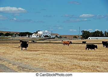 Bulls in field, Andalusia, Spain - Bulls in field with a...