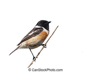Common Stonechat isolated on white