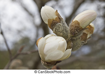 Royal Star Magnolia Tree Blossoms