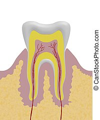 Tooth Illustration - Anatomical illustration of a tooth