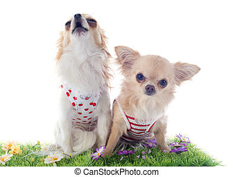 chihuahuas in grass - chihuahua in grass in front of white...
