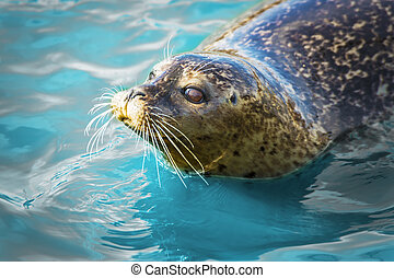 Gray seal in blue water - Gray seal floating in blue water.