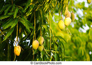 Mangoes - Ripening Mangoes on  tree.