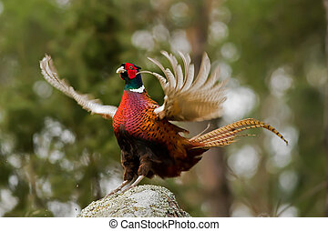 The Cock Pheasant(Phasianus colchicus) ending his mating...