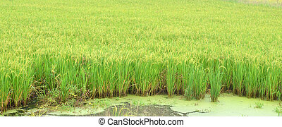 paddy agriculture