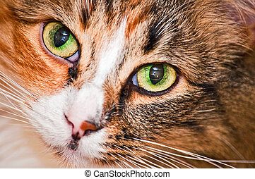 Calico Closeup - Cat