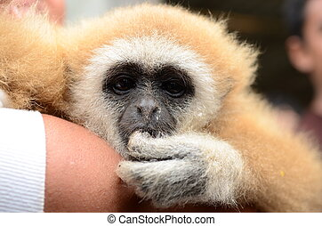 Gibbon face close up